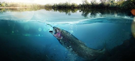 Salmon in river