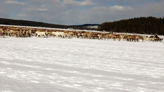 Reindeer near Stamåsen wind farm.